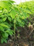 Αγρόκτημα Ginseng Στοκ εικόνα με δικαίωμα ελεύθερης χρήσης
