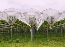 Αγρόκτημα Straberries Στοκ Εικόνες