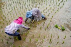 Αγρότες με τα σπορόφυτα ρυζιού μεταμόσχευσης καπέλων αχύρου στον τομέα ορυζώνα Στοκ εικόνα με δικαίωμα ελεύθερης χρήσης