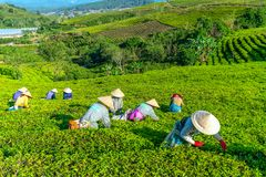 Αγρότες ομάδας στο κοστούμι εργασίας, κωνικά καπέλα που συγκομίζουν το τσάι το πρωί Στοκ Εικόνες