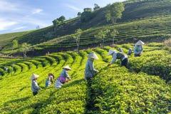 Αγρότες ομάδας στο κοστούμι εργασίας, κωνικά καπέλα που συγκομίζουν το τσάι το πρωί Στοκ Φωτογραφίες