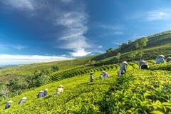 Αγρότες ομάδας στο κοστούμι εργασίας, κωνικά καπέλα που συγκομίζουν το τσάι το πρωί Στοκ φωτογραφίες με δικαίωμα ελεύθερης χρήσης