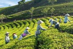 Αγρότες ομάδας στο κοστούμι εργασίας, κωνικά καπέλα που συγκομίζουν το τσάι το πρωί Στοκ εικόνες με δικαίωμα ελεύθερης χρήσης