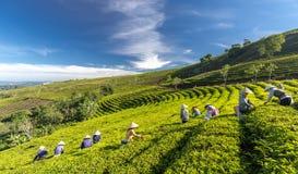 Αγρότες ομάδας στο κοστούμι εργασίας, κωνικά καπέλα που συγκομίζουν το τσάι το πρωί Στοκ εικόνα με δικαίωμα ελεύθερης χρήσης