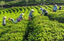 Αγρότες ομάδας στο κοστούμι εργασίας, κωνικά καπέλα που συγκομίζουν το τσάι το πρωί Στοκ Φωτογραφία