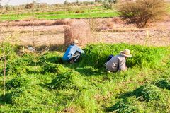 Αγρότες που εργάζονται στους τομείς σε Dakhla Στοκ Φωτογραφίες
