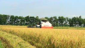 Αγρότες που συγκομίζουν το ρύζι στους τομείς από τη μηχανή απόθεμα βίντεο