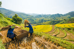 Αγρότες που συγκομίζουν το ρύζι στο διάσημο πεζούλι στο Βιετνάμ στοκ φωτογραφία με δικαίωμα ελεύθερης χρήσης
