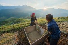 Αγρότες που συγκομίζουν το ρύζι στο διάσημο πεζούλι στο Βιετνάμ στοκ εικόνες