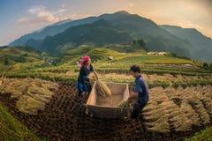 Αγρότες που συγκομίζουν το ρύζι στο διάσημο πεζούλι στο Βιετνάμ στοκ εικόνα με δικαίωμα ελεύθερης χρήσης