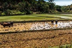 αγρότες στη Μαδαγασκάρη που εργάζεται στους τομείς ρυζιού Στοκ Φωτογραφία