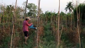 Αγρότης ατόμων που ποτίζει τη φυτική πλοκή και που φορά ένα καπέλο αχύρου στοκ φωτογραφία με δικαίωμα ελεύθερης χρήσης