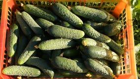 Αγρότης γυναικών που έχει την πλούσια συγκομιδή των αγγουριών φιλμ μικρού μήκους