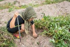 Αγρότης γυναικών που συγκομίζει τη γλυκιά πατάτα στοκ φωτογραφίες