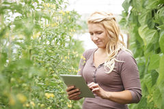 Αγρότης στο θερμοκήπιο που ελέγχει τις τοματιές που χρησιμοποιούν το ψηφιακό Τ Στοκ Φωτογραφία