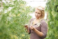 Αγρότης στο θερμοκήπιο που ελέγχει τις τοματιές Στοκ Εικόνες