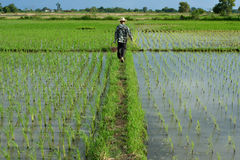 Αγρότης στο πεδίο ρυζιού Στοκ Εικόνα