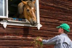 Αγόρι που ταΐζει ένα άλογο μέσω ενός παραθύρου, που κρατά τη χλόη στο χέρι του Στοκ Εικόνες
