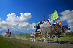 Αγώνας αγελάδων Στοκ εικόνες με δικαίωμα ελεύθερης χρήσης