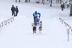 Αγώνας σκυλιών ελκήθρων, ομάδα σκυλιών κατά τη διάρκεια του skijoring ανταγωνισμού στο χειμερινό δρόμο Στοκ Φωτογραφίες