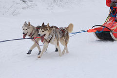 Αγώνας σκυλιών ελκήθρων, δύο σκυλιά malamute κατά τη διάρκεια του ανταγωνισμού στο χειμερινό δρόμο Στοκ εικόνα με δικαίωμα ελεύθερης χρήσης