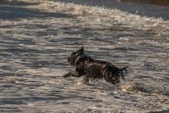 Αγώνας στη θάλασσα στην αναζήτηση του ραβδιού στοκ εικόνες