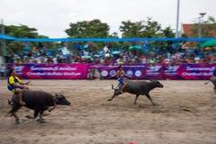 Αγώνας Buffalo φεστιβάλ Στοκ Εικόνες