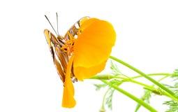αδελφή παπαρουνών Καλιφόρνιας πεταλούδων Στοκ φωτογραφία με δικαίωμα ελεύθερης χρήσης
