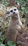 αδιάκριτο meercat στοκ φωτογραφία με δικαίωμα ελεύθερης χρήσης