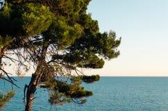 Αδριατική παραλία με το δέντρο πεύκων Στοκ φωτογραφία με δικαίωμα ελεύθερης χρήσης