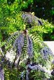 Αειθαλές δέντρο Mahonia Leatherleaf με διαμορφωμένο το ανεμιστήρας κρεμώντας γαλαζωπό σταφύλι όπως τις συστάδες στοκ εικόνες