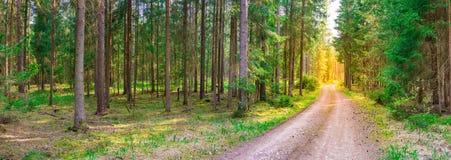 Αειθαλής δασώδης περιοχή δέντρων πεύκων με την ηλιοφάνεια στο τέλος του βρώμικου δρόμου στοκ φωτογραφία