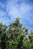 Αειθαλής ενάντια στον ουρανό στην οικολογική επιφύλαξη Antisana Στοκ Εικόνες