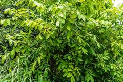 Αειθαλής στενή άποψη φύλλων δέντρων που φαίνεται τρομερή στοκ φωτογραφίες