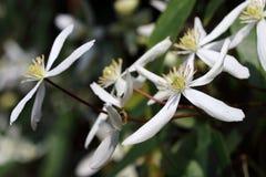 Αειθαλείς ανθίσεις ανθών ` armandii ` Apple Clematis Clematis με τα άσπρα λουλούδια Στοκ Εικόνες