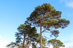 Αειθαλείς θόλοι δέντρων Στοκ εικόνα με δικαίωμα ελεύθερης χρήσης