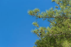 Αειθαλές δέντρο, της Κριμαίας πεύκο, ή πεύκο του Παλλάς στο υπόβαθρο του μπλε ουρανού Στοκ φωτογραφίες με δικαίωμα ελεύθερης χρήσης