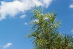 Αειθαλές δέντρο, της Κριμαίας πεύκο, ή πεύκο του Παλλάς στο υπόβαθρο του μπλε ουρανού Στοκ εικόνα με δικαίωμα ελεύθερης χρήσης