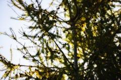 Αειθαλές δέντρο Χριστουγέννων κινηματογραφήσεων σε πρώτο πλάνο άγριο Στοκ φωτογραφία με δικαίωμα ελεύθερης χρήσης