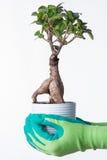 αειθαλές μικροσκοπικό δέντρο πεύκων μπονσάι Στοκ εικόνες με δικαίωμα ελεύθερης χρήσης