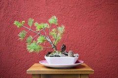 αειθαλές μικροσκοπικό δέντρο πεύκων μπονσάι στοκ φωτογραφία