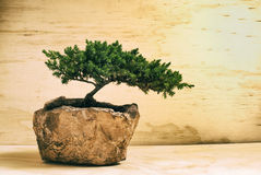 αειθαλές μικροσκοπικό δέντρο πεύκων μπονσάι Στοκ Φωτογραφίες