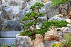 αειθαλές μικροσκοπικό δέντρο πεύκων μπονσάι Στοκ φωτογραφία με δικαίωμα ελεύθερης χρήσης