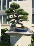αειθαλές μικροσκοπικό δέντρο πεύκων μπονσάι στοκ εικόνα με δικαίωμα ελεύθερης χρήσης