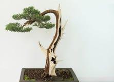 αειθαλές μικροσκοπικό δέντρο πεύκων μπονσάι Στοκ Εικόνες