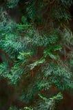Αειθαλές υπόβαθρο ιουνιπέρων Φωτογραφία του θάμνου με τις πράσινες βελόνες Διακοσμητικά αγκάθια του ιοuνίπερος κοινά, treetop άκρ Στοκ φωτογραφία με δικαίωμα ελεύθερης χρήσης