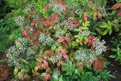 Αειθαλής θάμνος aquifolium Mahonia με τα πράσινα ανώριμα μούρα Στοκ φωτογραφία με δικαίωμα ελεύθερης χρήσης