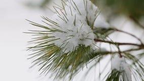Αειθαλής κλάδος χειμερινών δέντρων χιονιού με βαρύ σε το απόθεμα βίντεο