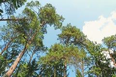 Αειθαλή δέντρα πεύκων Στοκ Φωτογραφίες