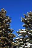 Αειθαλή δέντρα στο μπλε ουρανό Στοκ Εικόνες